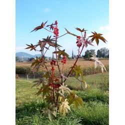 Graines Ricin Rouge (Ricinus communis) 1.85 - 6
