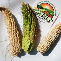 Pod Corn Seeds (Zea mays, var. tunicata) 2.25 - 2