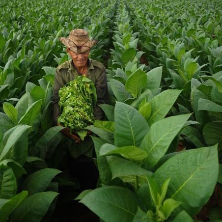Graines de Tabac HAV. COROJO 2.45 - 2