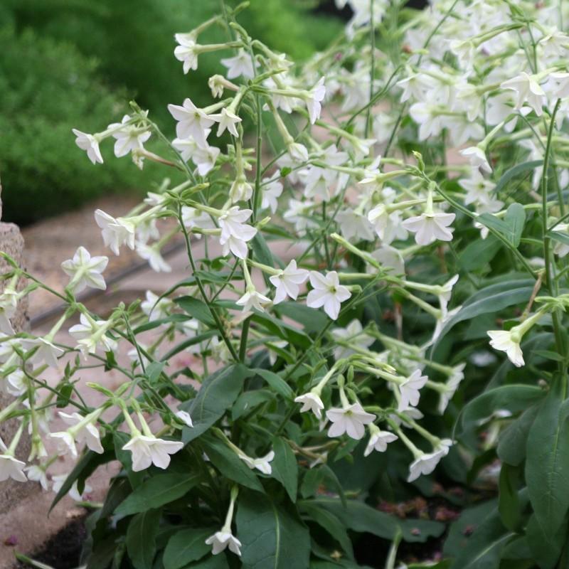 Ziertabak Weis Samen (Nicotiana alata) 2 - 1