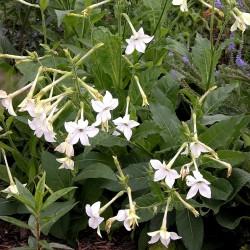 Σπόροι Άνθιση Καπνού λευκό (Nicotiana alata) 2 - 2