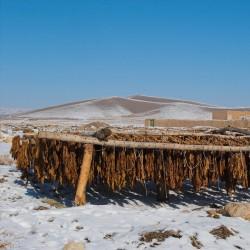 Bauern-Tabak  Rundblatt-Tabak Samen (Nicotiana rustica) 1.9 - 4