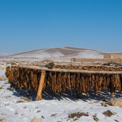 Mapacho - Thuoc Lao Tobacco Seeds (Nicotiana rustica) 1.9 - 4