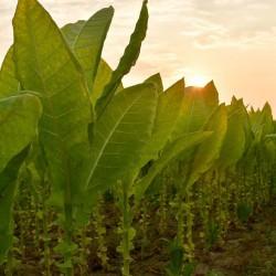 Graines de Tobacco Latakia...
