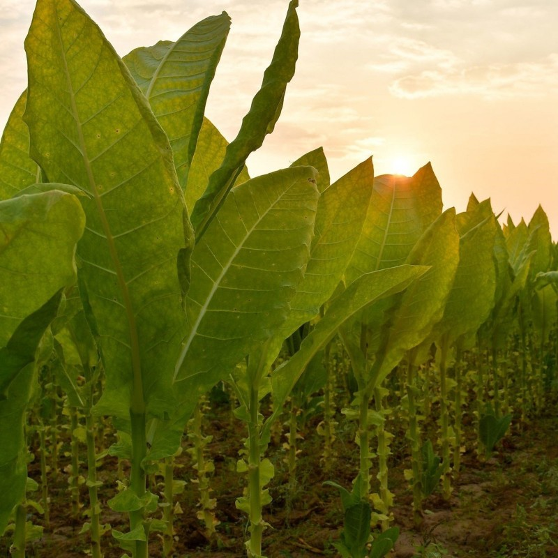 Graines de Tobacco Latakia Peremochez Orient 1.95 - 1