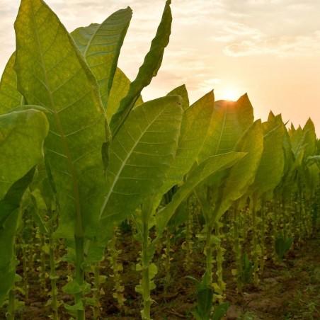 Tobaksfrön Latakia Peremochez Orient 1.95 - 1
