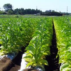 Tobaksfrön Latakia Peremochez Orient 1.95 - 2