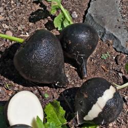 3.000 Black Radish Seeds - Spanish Round 8 - 2