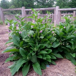 Comfrey Seeds - Symphytum officinale 2.45 - 3