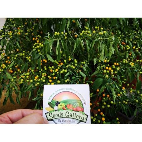 Graines de Piment Charapita 2.25 - 4