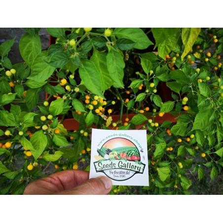 Charapita Chili - Cili Seme 2.25 - 12