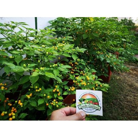 Charapita Chili Samen 2.25 - 6