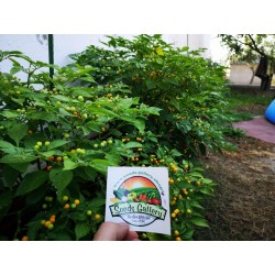 Charapita Chili Frön 2.25 - 13
