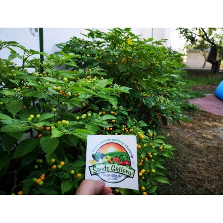Charapita Chili - Cili Seme 2.25 - 13
