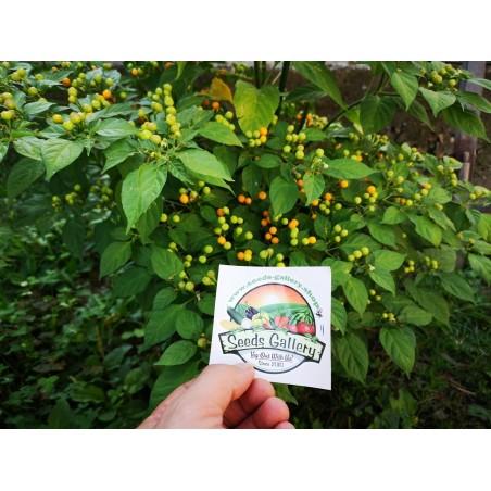 Charapita Chili Samen 2.25 - 14