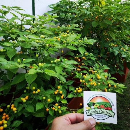 Charapita Chili - Cili Seme 2.25 - 15