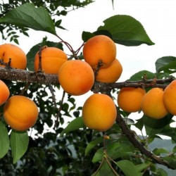 Manchurian Aprikos Frön (Prunus armeniaca) 4.5 - 2