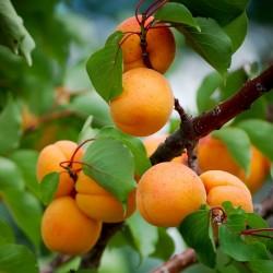 Manchurian Apricot Seeds Prunus Armeniaca 4.5 - 3