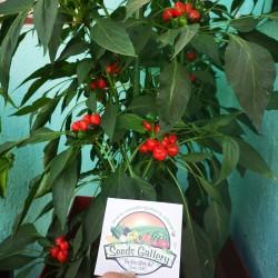 West Virginia Pea Hot Pepper Seeds 1.55 - 7