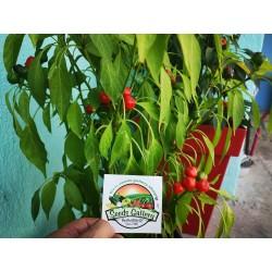 West Virginia Pea Hot Pepper Seeds 1.55 - 8