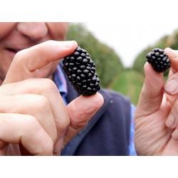 Giant Blackberry Seeds (Rubus fruticosus) 1.85 - 2