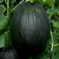 Black Melon Seeds 2.45 - 3