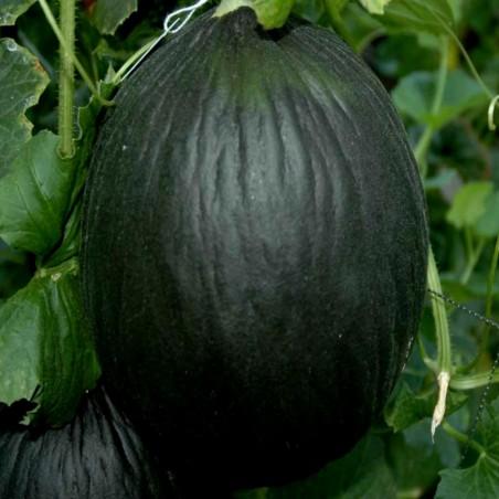 Schwarze Zuckermelone Samen 2.45 - 3