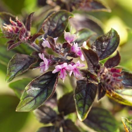Basil Seeds MIX 4 different varieties 2 - 1