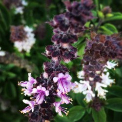 Semillas Albahaca MIX 4 variedades diferentes 2 - 5