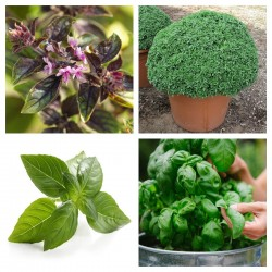 Basil Seeds MIX 4 different varieties 2 - 6