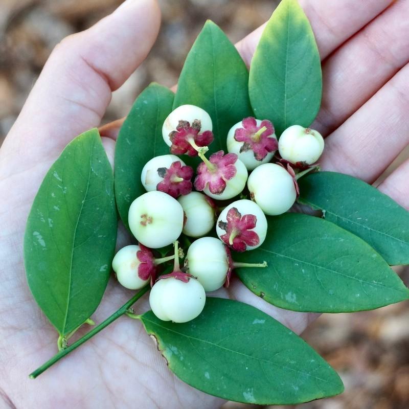 Σπόροι Katuk - δέντρο σπανάκι (Sauropus androgynus) 2.75 - 1