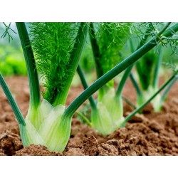 FLORENCE Fennel Seeds large bulbs 1.85 - 2