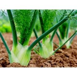 FLORENCE Komorac Seme - Lekovita i zacinska biljka 1.85 - 2
