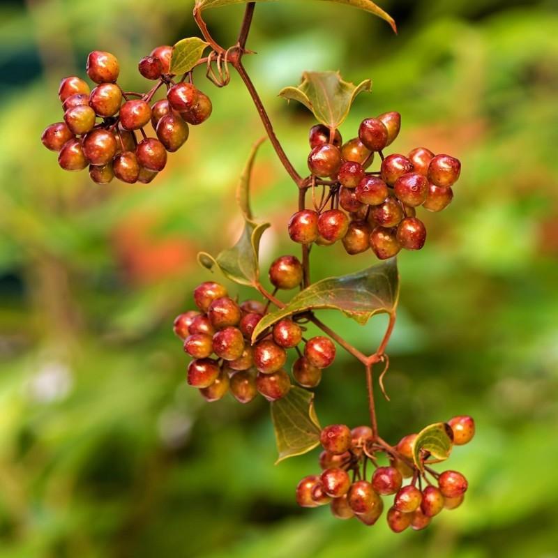 Common Smilax, Rough Bindweed Seeds (Smilax aspera) 2.049999 - 3