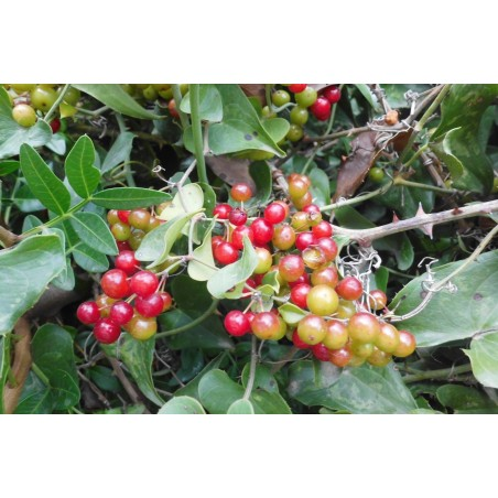 Common Smilax, Rough Bindweed Seeds (Smilax aspera) 2.049999 - 2