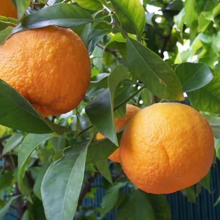 Pomerans Fröer (Citrus aurantium) 1.85 - 2