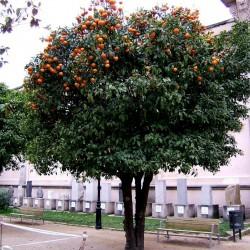 Pomerans Fröer (Citrus aurantium) 1.85 - 4