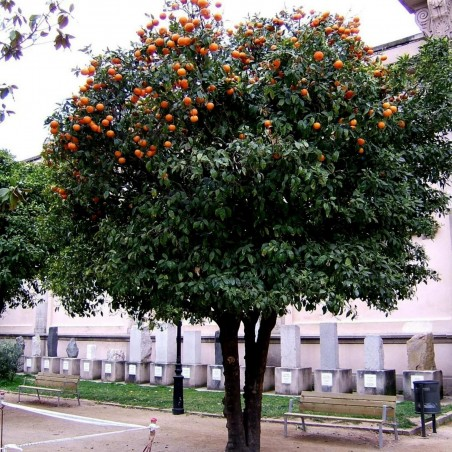 Graines de Bigaradier ou Oranger amer 1.85 - 4
