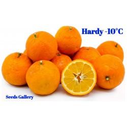 Bitter Orange Seeds (Citrus aurantium) 1.85 - 1