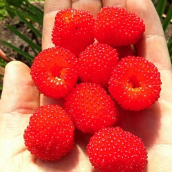 Balloon Berry, Strawberry Raspberry Seeds 0 - 6