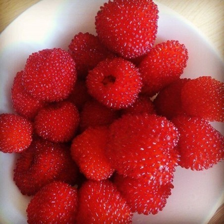 Jordgubbshallon Frön (Rubus illecebrosus) 0 - 4