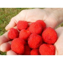 Jordgubbshallon Frön (Rubus illecebrosus) 0 - 5