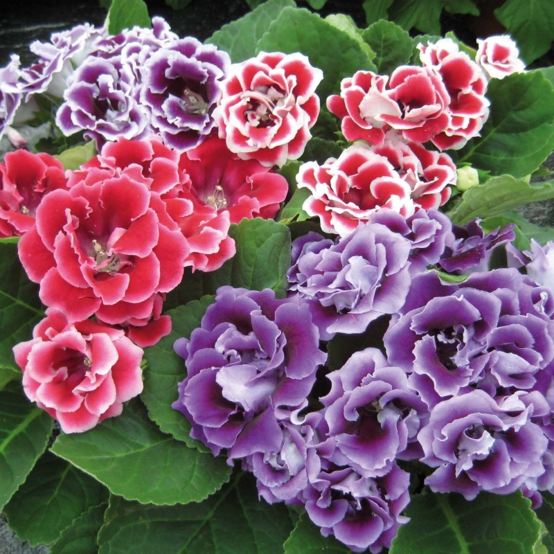 Gloxinia Brocade mix Pelleted seeds 2.45 - 1