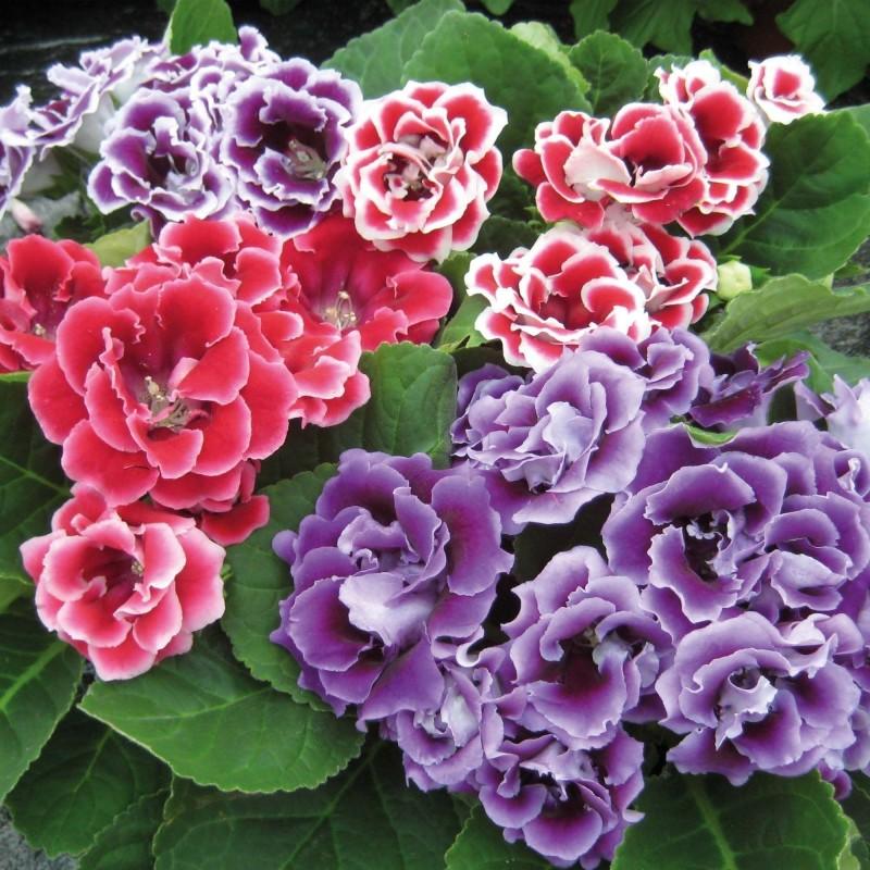 Σπόροι λουλουδιών Gloxinia Brocade Double Mixed 2.45 - 1