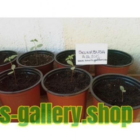 Skunk Bush Sumac Seeds Exotic Fruit