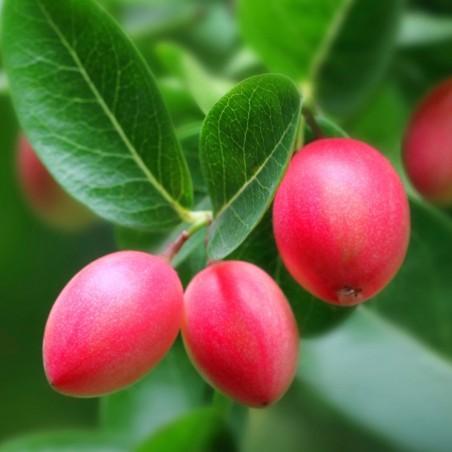 Natal Plum Seeds (Carissa macrocarpa) 2.5 - 2