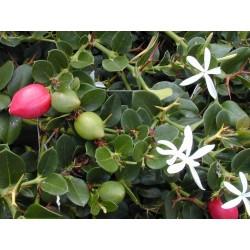 Semillas de CIRUELA DE NATAL (Carissa macrocarpa) 2.5 - 5