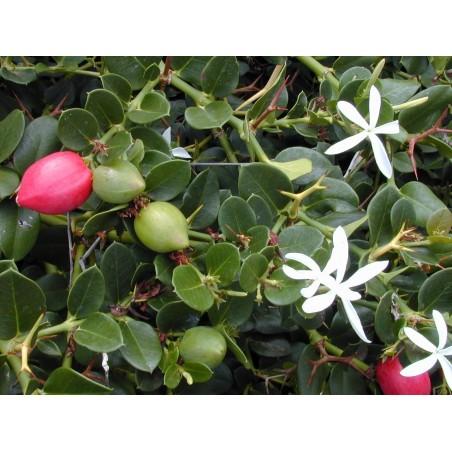 Natal Sljiva Seme (Carissa macrocarpa) 2.5 - 5