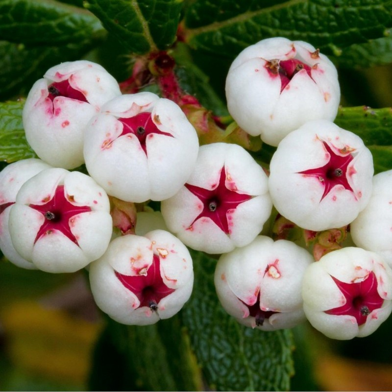 Tasmanian Snow Berry Seeds - delicious fruits 1.35 - 3