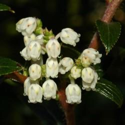 Semillas de Tasmanian Snowberry bayas comestibles 1.35 - 1